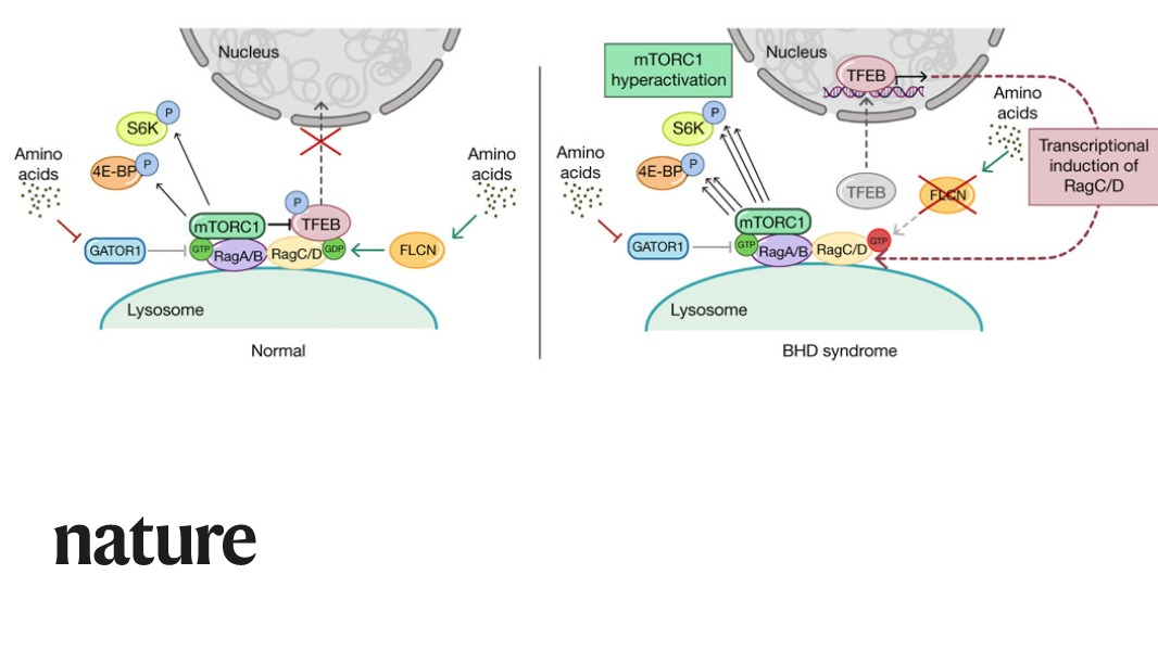 A Nature paper describes a novel mechanism that specifically mediates phosphorylation of mTORC1 substrate TFEB and explains the pathophysiology underlying the Birt-Hogg-Dubé syndrome in mice. https://t.co/p9UVBqcmpf https://t.co/4qvdlbqF9k