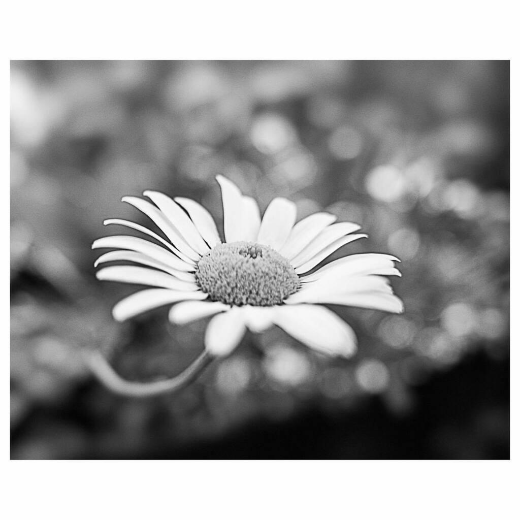 2020 arlophoto365 challenge 187/366 . . . . . . #ricoh #grIII #ricohgr3 #gr3 #ricohgriii #grsnaps #blackandwhite #blackandwhitephotography #b+w #bnw_greatshots #bnw_planet_2020 #winnipeg #manitoba #corydonave #daisy #flowers #outoffocus #july https://instagr.am/p/CCRGya4gqJJ/pic.twitter.com/2wF16zM8Pe