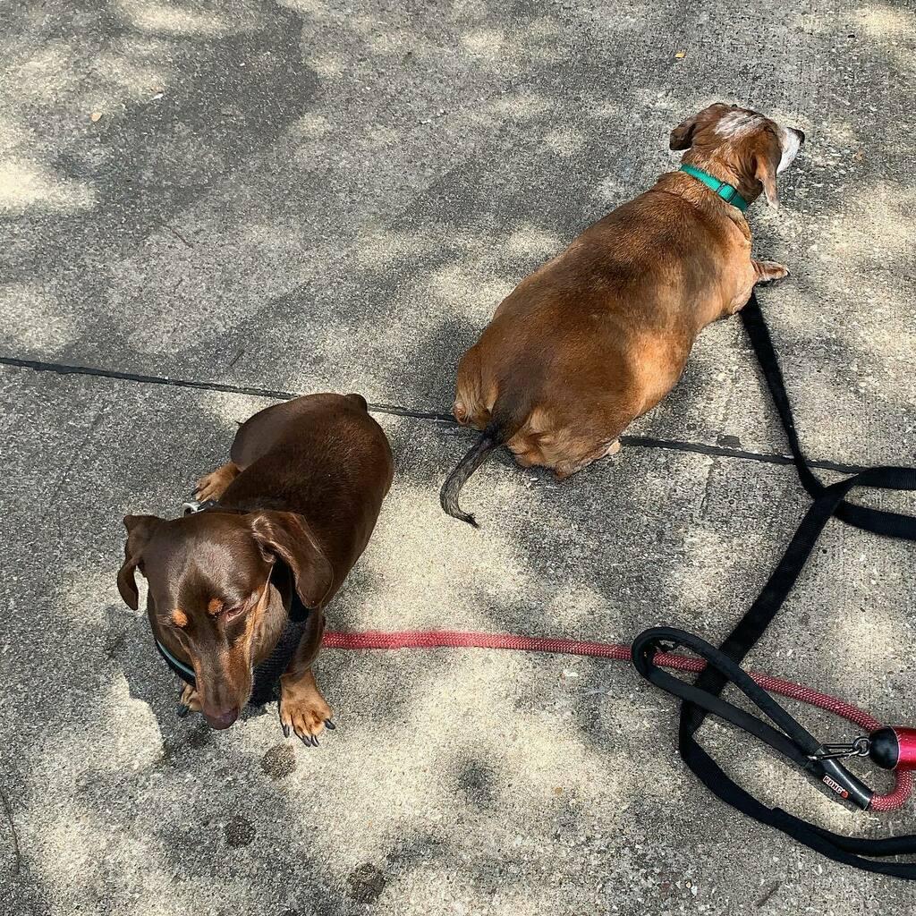 Sniffing the breeze after afternoon potty break. #chocolateandtan #dachshund #chocolateandtandachshund #red #dapple #dachshund #reddappledachshund #dachshundsofinstagram #instadachshund #ilovemydachshund #instadog #ilovemydog https://instagr.am/p/CCRhw35Dpgu/pic.twitter.com/FKGxY2NxsZ