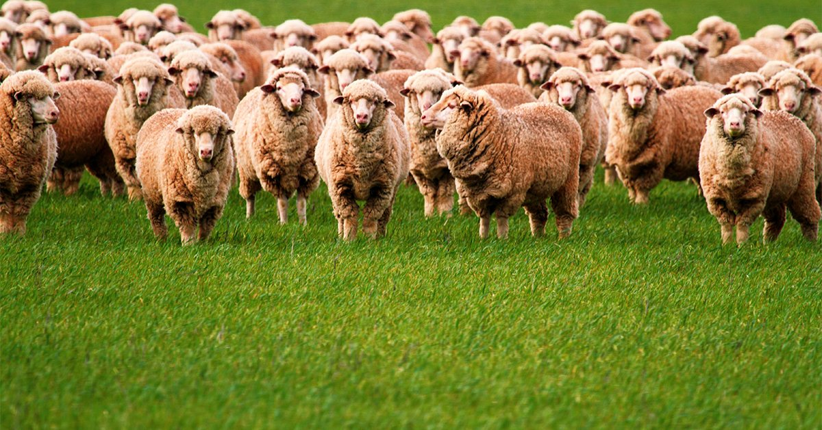 Learn about the impacts on retaining older aged ewes to build flock numbers with Dr John Webb-ware in this week's webinar. Wednesday July 8, register here 👉 https://t.co/ycCFmnjtcN https://t.co/dKZWr9iWkA