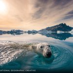Image for the Tweet beginning: A polar bear swims at