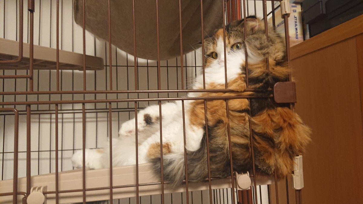 ゲージによっかかってるコロちゃんパンパンですね🙄✨www  はみでてますやんwww  #ふわふわ #スコティッシュフォールド #猫のいる暮らし #猫好きさんと繋がりたい  #みけねこ #肥満 https://t.co/txiLteN42g