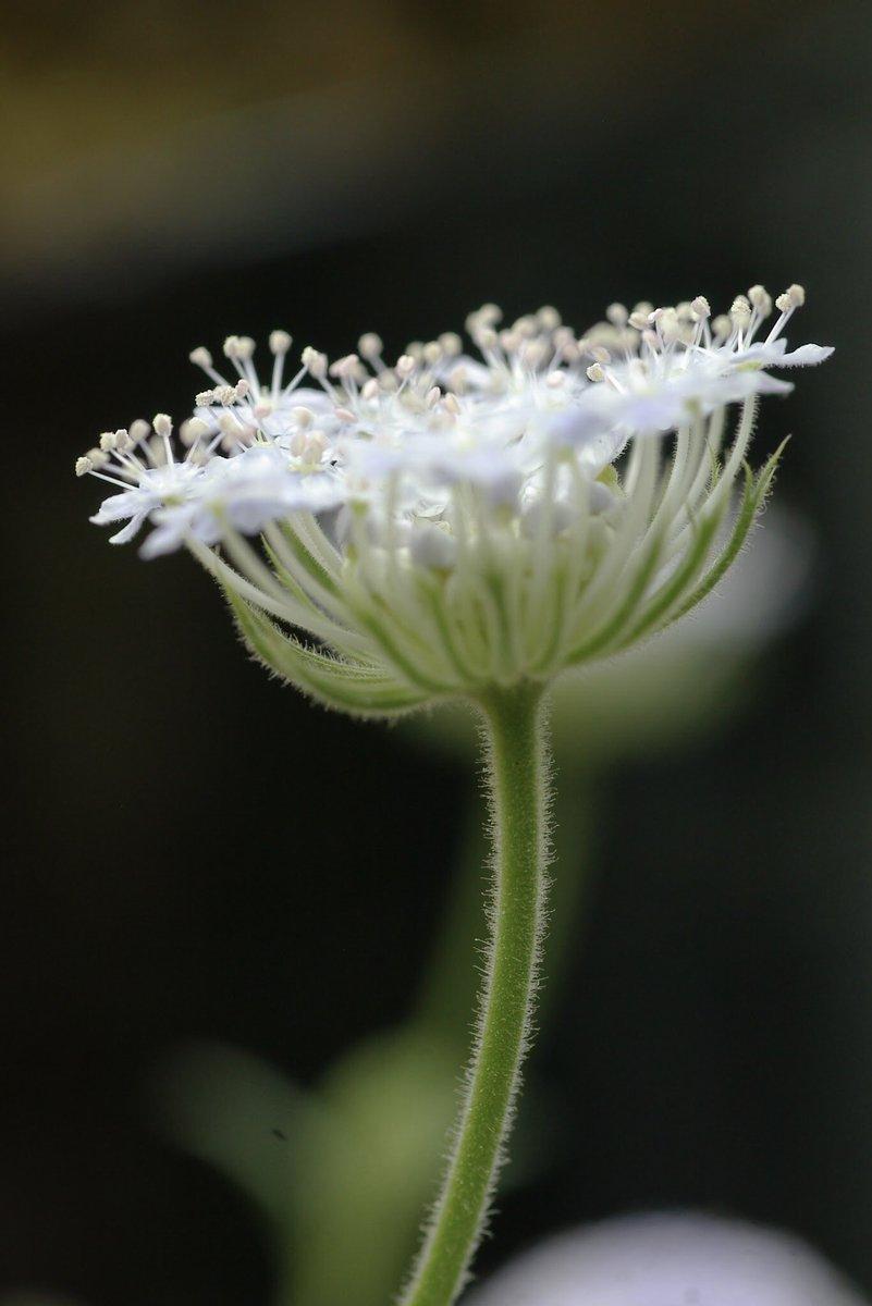 紫陽花の季節終わる前にもうすこしだけ観ておこうかな^_^  #紫陽花 #hydrangea #公園 #pentax #flowers #nature #花のある風景  #カメラ散歩