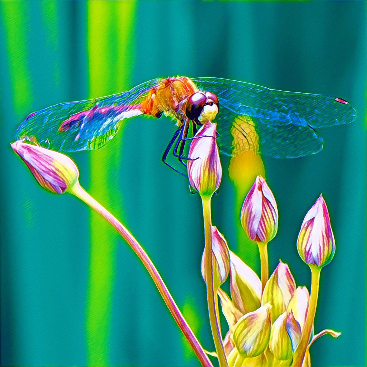#ottawa #canada #myottawa #colours #bloom #instalike #instagood #macro #macrophotography #closeup #prisma #shotonnikon #d850 #colour #bloom #flower #flowers #dragonfly