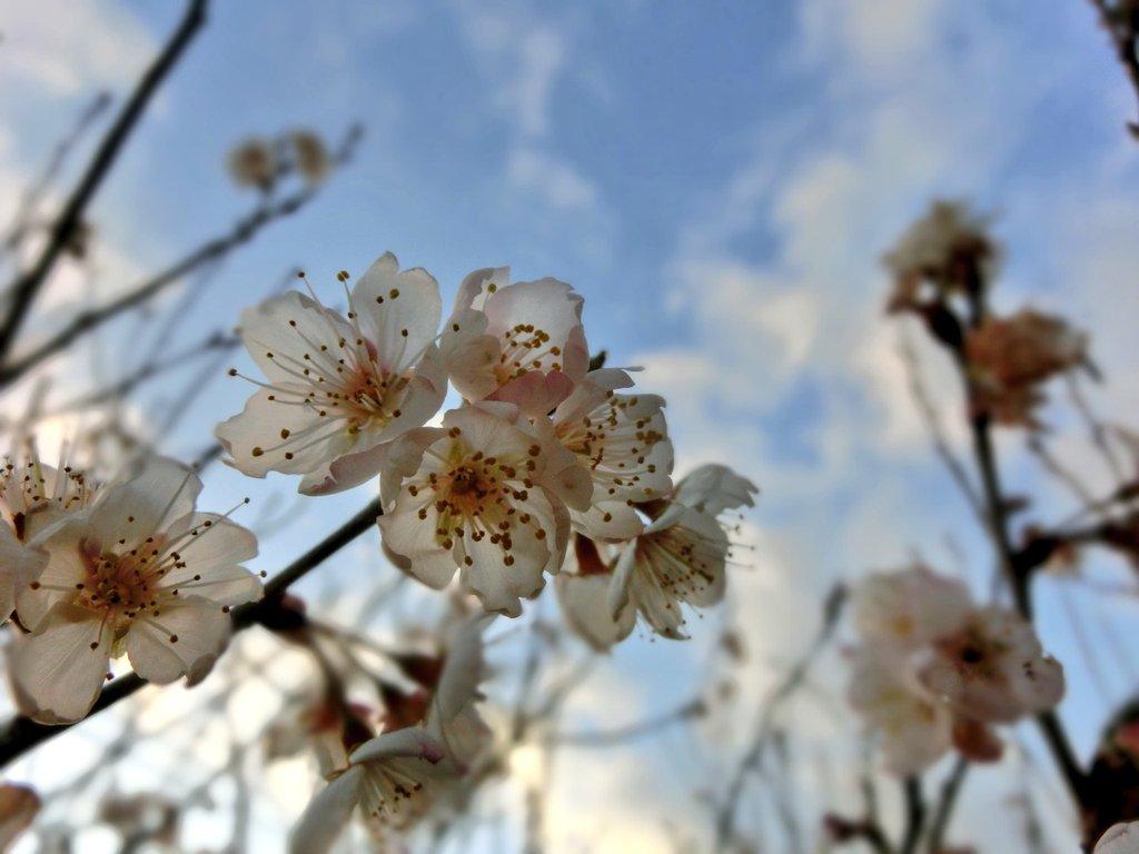 @tokiwaheart   一度もお話し出来ませんでしたが 元気でいてください🌸 #flowers #photography #Nikon #桜 #ファインダー越しの私の世界ᅠ #写真好きな人と繋がりたい #花好きな人と繋がりたい #写真撮ってる人と繋がりたい #写真で伝えたい私の世界 #キリトリセカイ