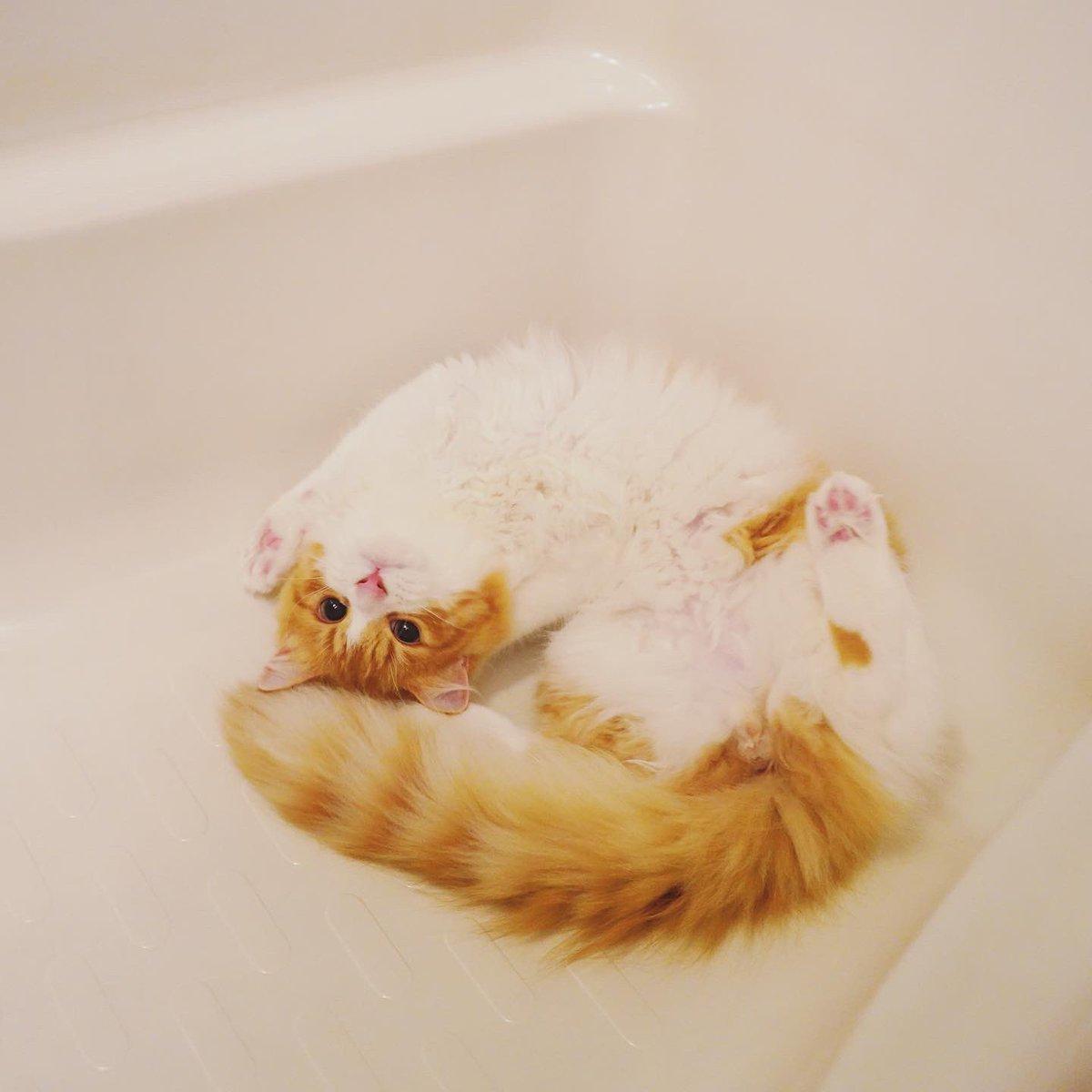 バスタブでくつろぐきなこ氏🐱🛁  #猫 #スコティッシュフォールド #猫好きさんと繋がりたい #ねこ #猫のいる暮らし #ねこ部 #cat https://t.co/Lxis5oY7EF