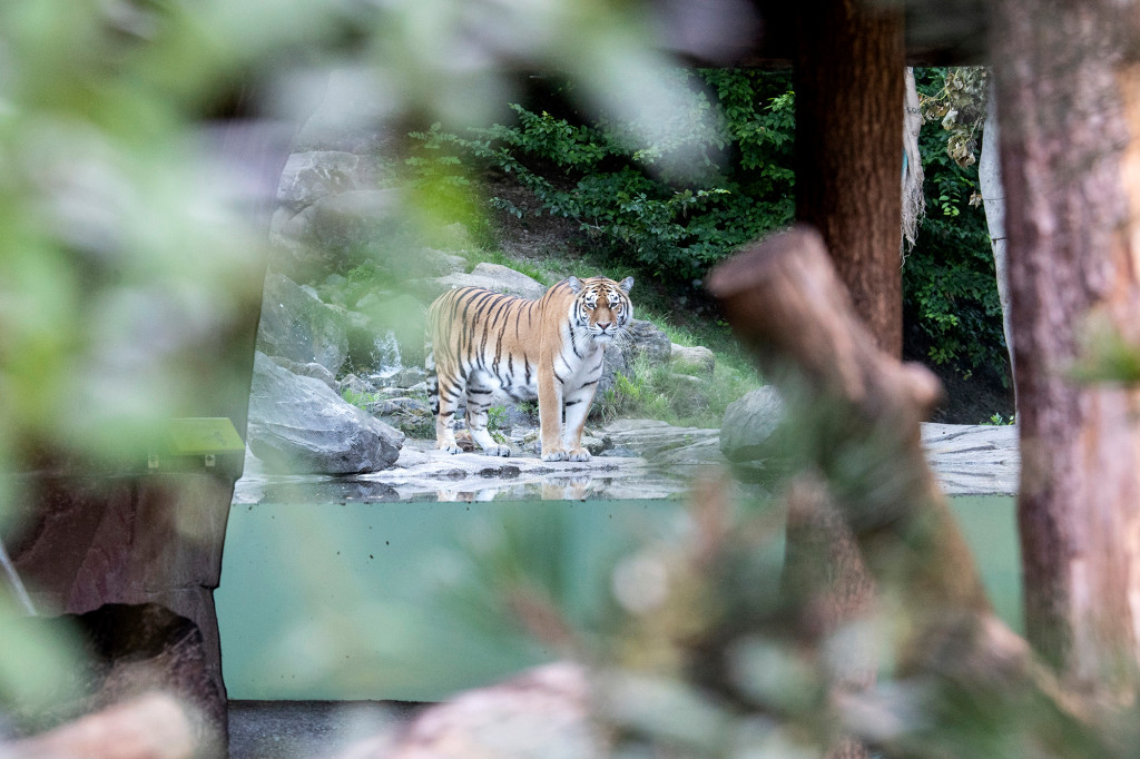 Swiss zookeeper killed by Siberian tiger inside enclosure. Download the app or click on https://t.co/aUDoMKqwmk to read this article from the New York Post. https://t.co/gBWQ6Nd7wK
