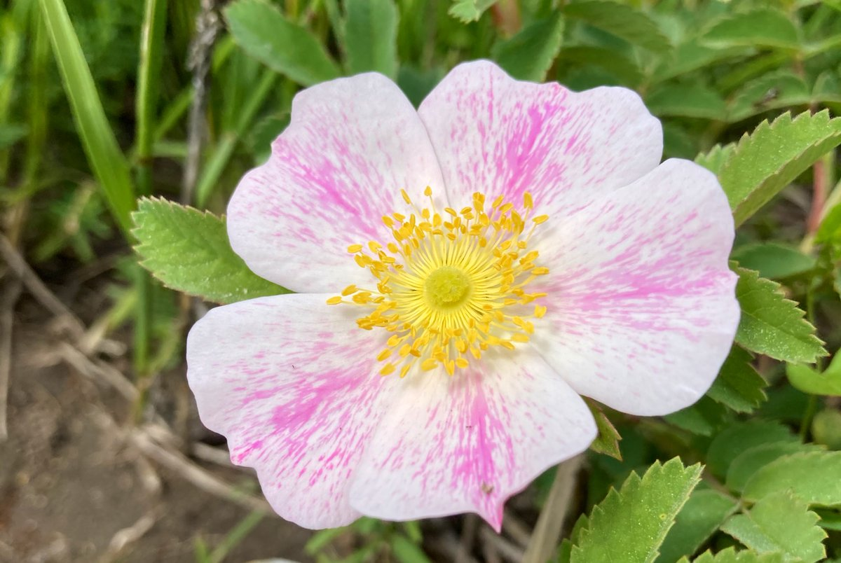 I really like these streaked wild roses. #wildrose https://t.co/hZ9qn279os