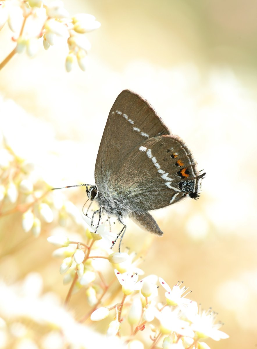 Monday morning, brought to you by a Blue-spot Hairstreak from this time last year, taken whilst I was co-leading a butterfly tour in the French Alps for @Greenwings. Rarely as glamorous as their cousins the blues and the coppers, hairstreaks are subtle, but reward a closer look.