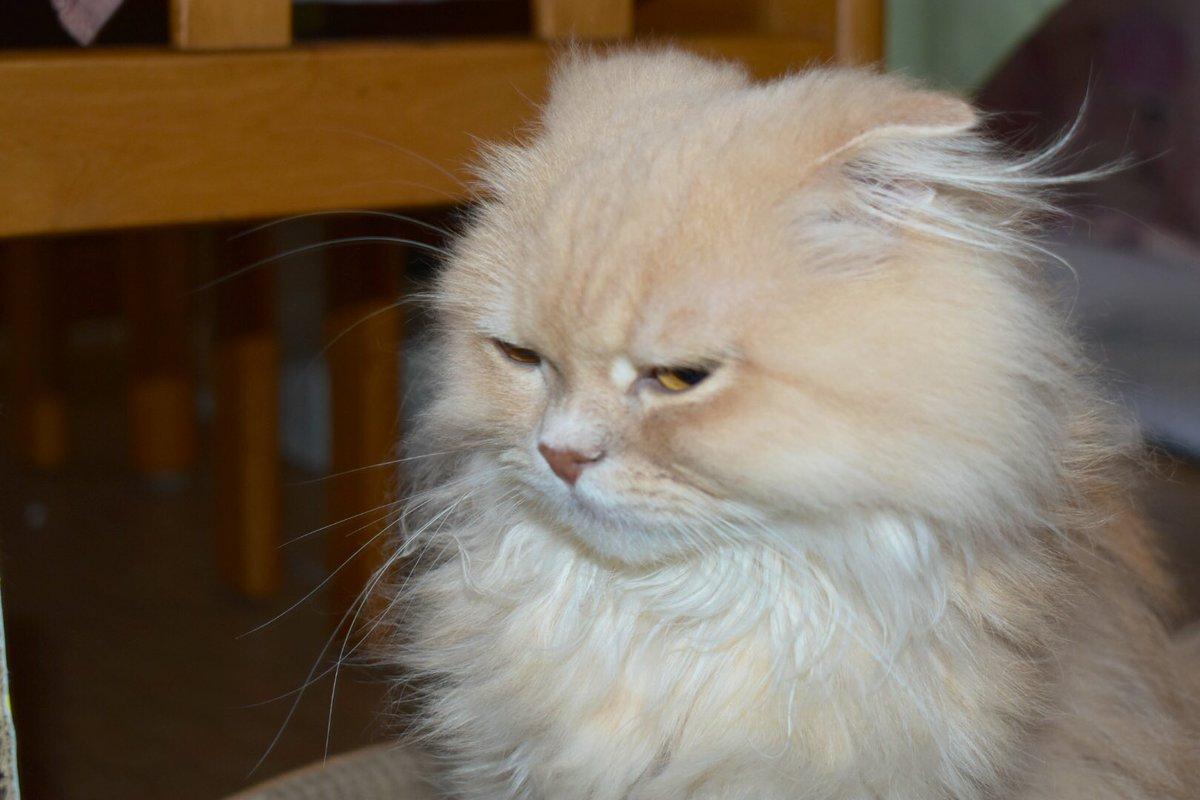 寝起きなうにさん #猫 #猫好きな人と繋がりたい #ねこ #猫好きさんと繋がりたい #スコティッシュ #スコティッシュフォールド https://t.co/rV2dpX9ItG