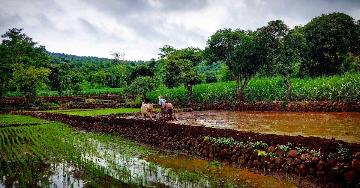 बळीराजाची भात पेरणी चालू आता फक्त भरपूर पावसाची सर्वजण वाट पाहत आहेत.  #महाराष्ट्र #भातपेरणी #पेरणी #sowing #farm #Maharashtra  #indian #india #kolhapur pic.twitter.com/2VtN7jDiXJ