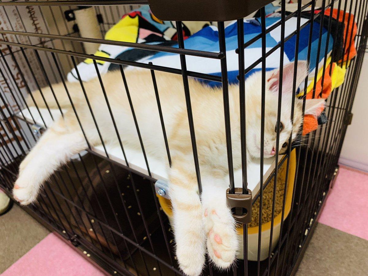 フォロワー様が50名を超えました🥳👏フィズくんの成長を今後とも見守りお願いします🙇♀️ 写真は四肢丸投げで遊び疲れて放心状態の子猫です。。柵から足出すのがお気に入り🐾☺️  #猫好きさんと繋がりたい #スコティッシュフォールド #子猫 #癒されたらRT #猫がいる暮らし #猫のいる生活 #猫写真 https://t.co/DrjG4gaNNO