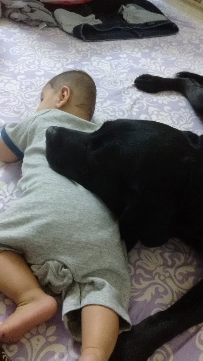 My 4 year old has grown up spending so much time with this girl, he thinks he is a Labrador. pic.twitter.com/YBO6c94PhS