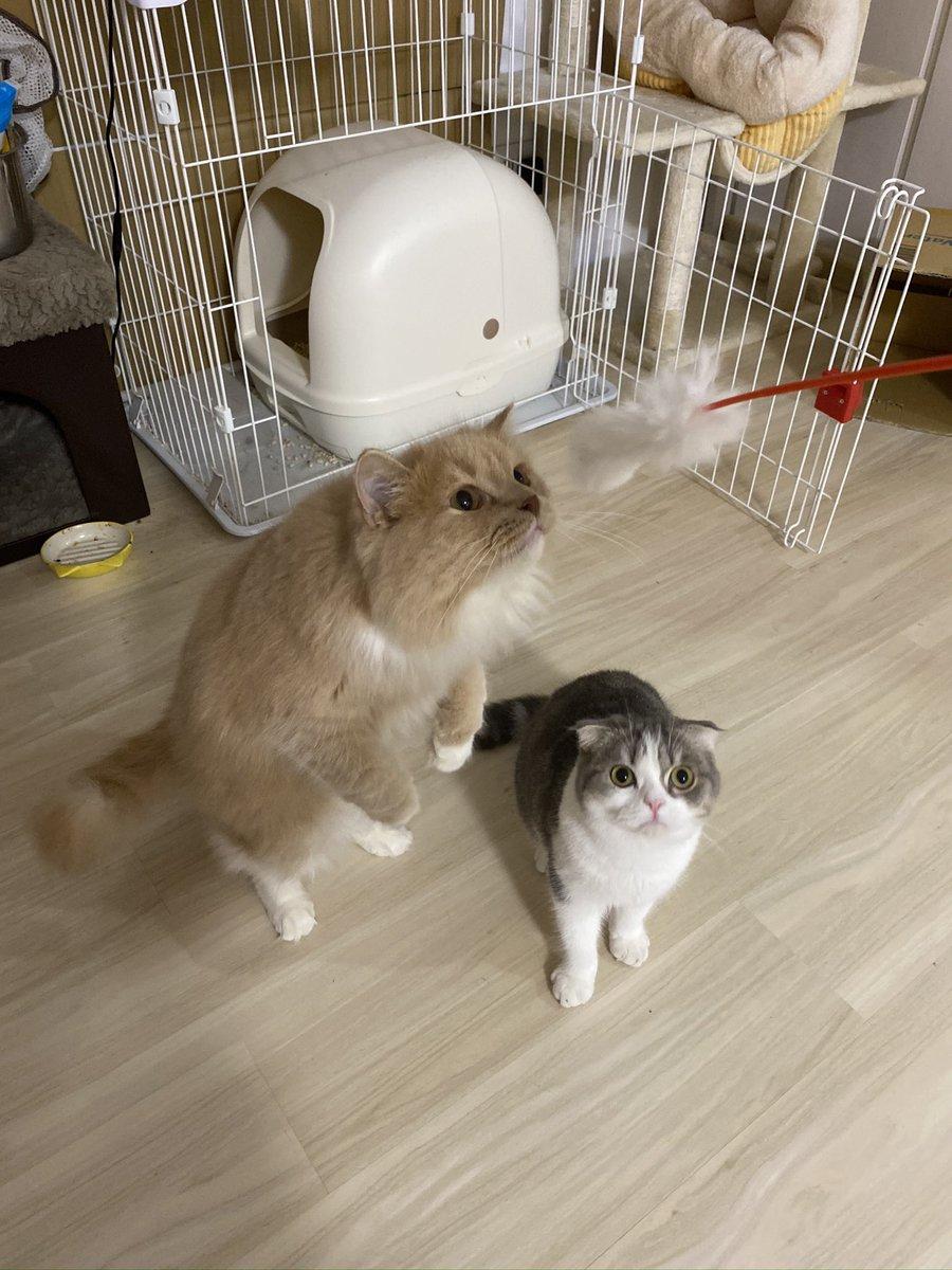 おは(/・ω・)/にゃー!  今日のニャー写真は、双子のモッチ(モチタロウ)と吾輩が二足歩行に成功した記念すべき瞬間(/・ω・)/にゃー!  #スコティッシュフォールド #cat #catstagram #猫好きさんと繋がりたい #ねこかわいい #魅惑のニャーキャット https://t.co/zLI7BvKUcA