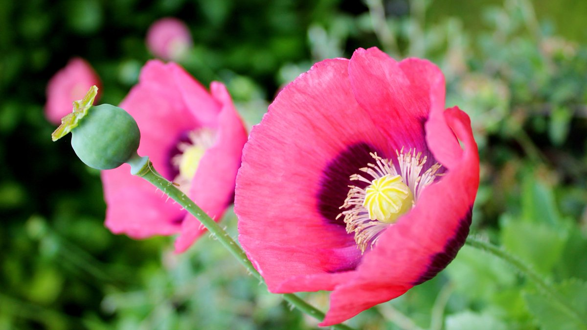 Monday morning starting with a beautiful Poppy and these may be my last for this year #happy #MondayMotivation #flowers #photography #gardeningpic.twitter.com/VcyOpISR5x
