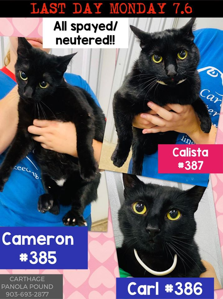 The two remaining black kitties Cameron (boy) & Calista (girl) in #CarthageTX must have immediate rescue! Carl was adopted! Save the two darling amigos! Adopt! Pledge for rescue! Phone/email 903-693-2877 carthagepanolapound@gmail.com BEYOND URGENT! https://t.co/8Sct64zplk https://t.co/CD93GkCRMv