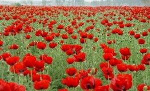 罂粟花 可以通称罂粟属的近180种植物,也可以按《中国植物志》特指鸦片罂粟。https://t.co/mb4plBuv8G #罂粟花 #揭密真相 #泰國 #南歐 #印度 #緬甸 #泰北 https://t.co/NXZrbH8Qup