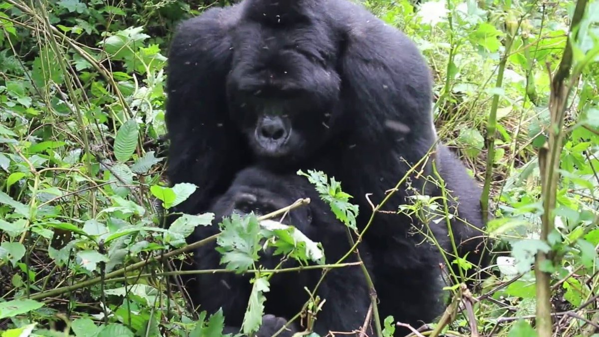 Gorillas are such amazing apes, an the trekking experience is such a unique one. What safari activity beats trekking an elusive specie on a very unique experience? Book with us a #gorillatour   https://t.co/KUMlHJX2vH #gorillacousinsrwanda #Rwandagorillasafari #gorillatourrwanda https://t.co/Ue3piJzM2D