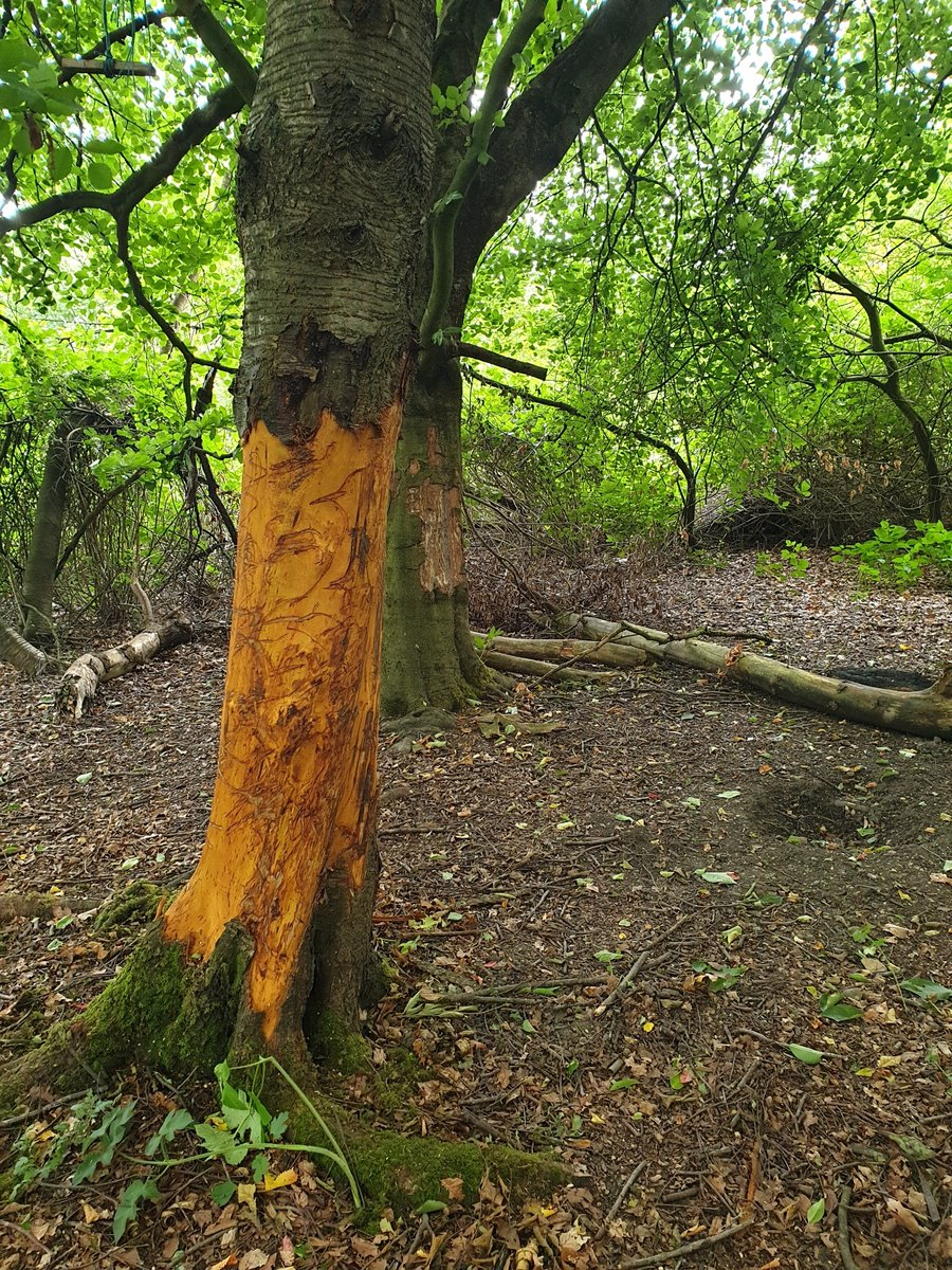 We are receiving reports of people building off road motorcycle tracks and killing trees by stripping bark at Noddys wood,Sevens road, Prospect Village,Cannock wood.  The tree pictured will now slowly die.  The area is now being patrolled by local officers. https://t.co/naSumFV2SQ