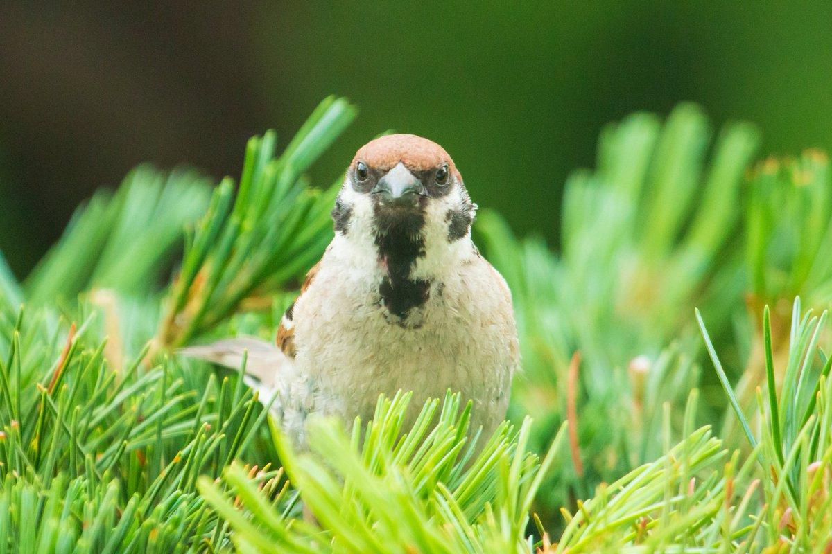 おはようございまチュン☺️ 正面から見るチュンは、また違った感じになりますね🤔 物事も見る方向を変えると、違った答えが出てきます🐤 「リフレーミング」という手法です。 では、1日ご安全に! #photo #写真    #雀 #ちゅん活 #野鳥撮影  #birdwatching https://t.co/or6t7XyxAW