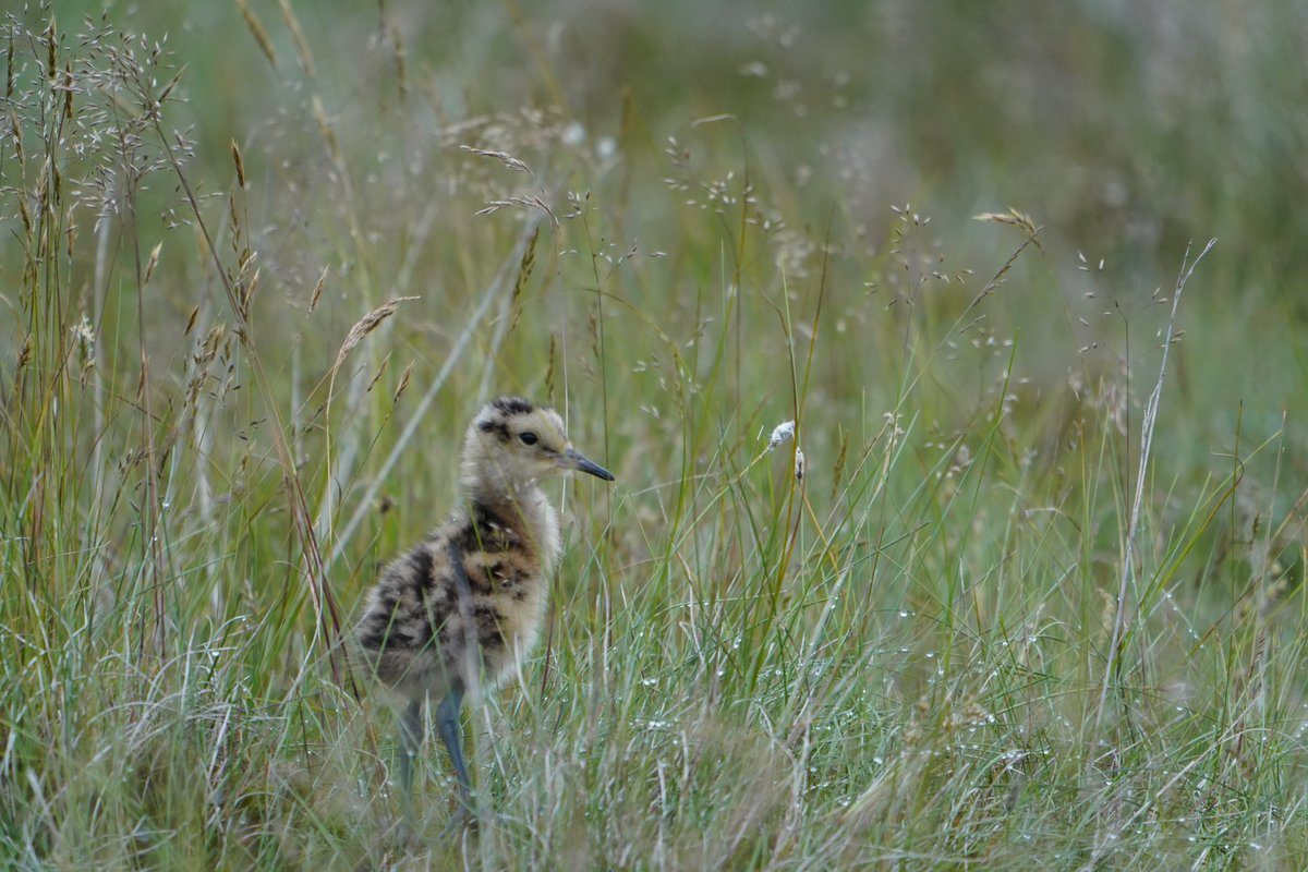 Watching young curlews take on the world, as I did last week, can be good for the soul.