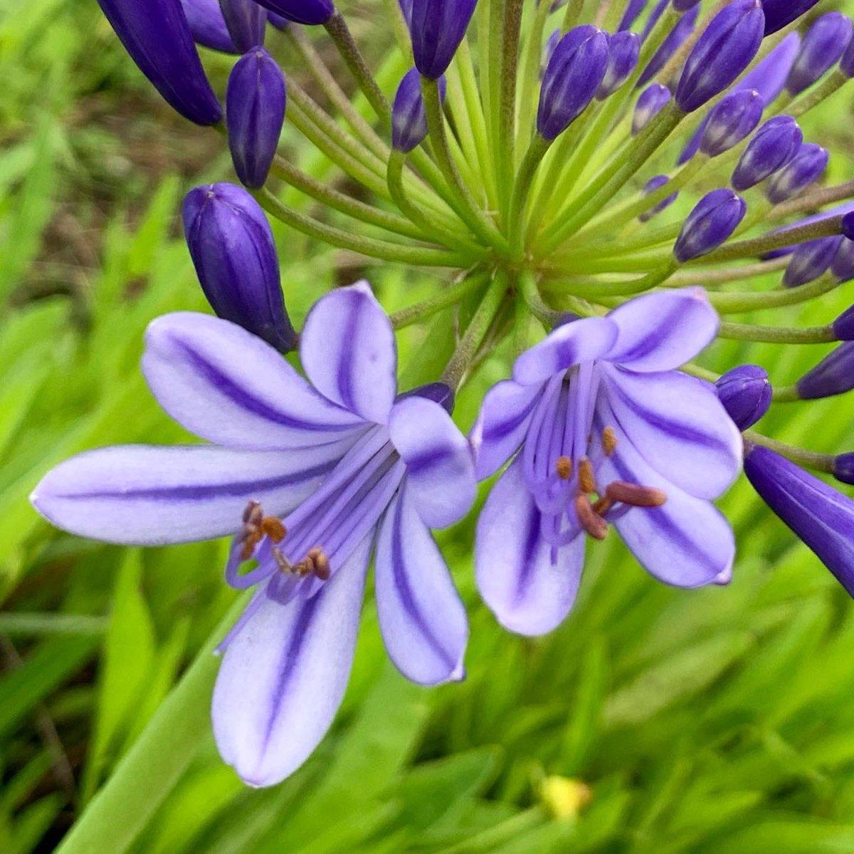 アガパンサス💜 お写んぽコースの遊歩道にて。 つぼみは濃い紫色でやや小ぶり🎶  開いた花も見慣れたものより薄紫色が濃く、印象的でした✨  そろそろ満開かと見に行くと… 影も形もなかったのです😞 誰かがチョッキン✂️しちゃったのかな〜💧 ・ #flowers  #アガパンサス  #雨が似合う花  #japan https://t.co/h11if11WHx