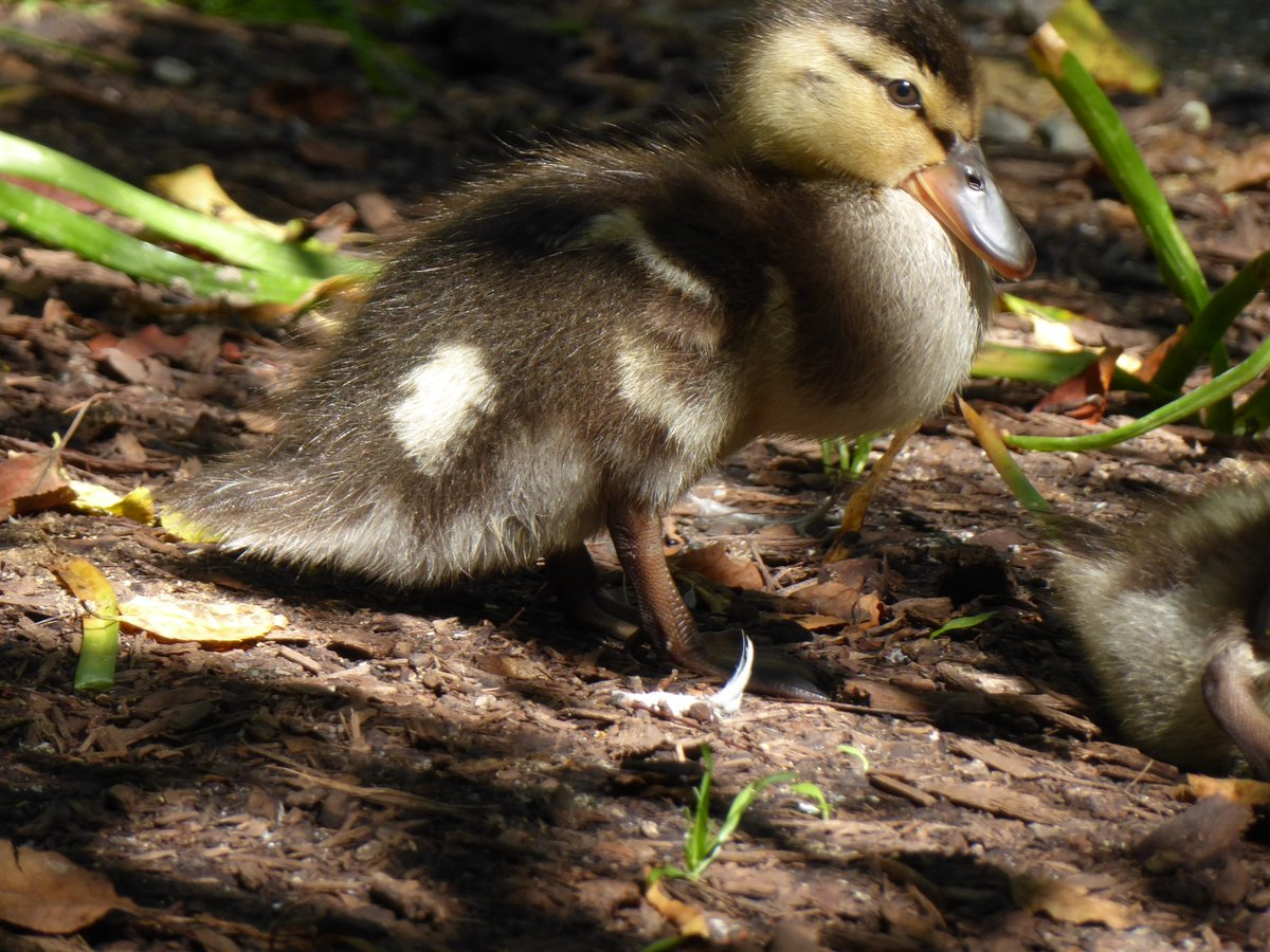 It's 90 degrees F here (32 C), and the ducks are sacked out in the heat. Here's a post with duck photos. Below, one of Dorothy's second brood, which has six.  https://t.co/EWzjdxXTHy https://t.co/zMjVE9vIJm