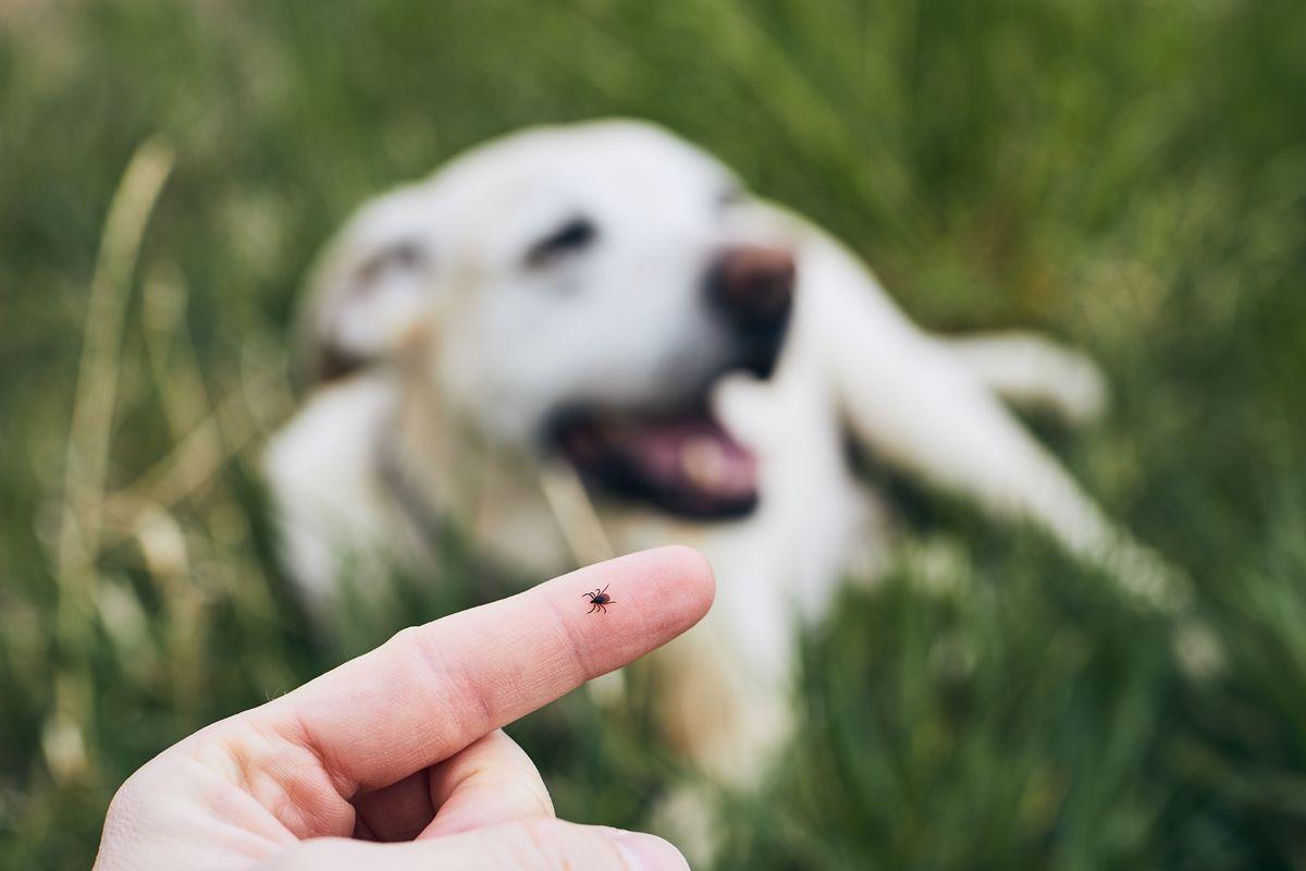 Garrapatas, y pulgas, son de los parásitos externos más peligrosos que puede tener una mascota, y si bien, todo el año hay riesgo de contagio de estos ectoparásitos, en verano, este peligro se intensifica debido a que el calor y la humedad facilitan  https://buff.ly/2C8Pkvzpic.twitter.com/RFYoOsfXHn