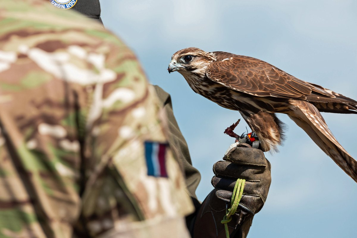 📸 The airfield Falconer at Siauliai Air Base 🇱🇹 who met briefly with some of the @RoyalAirForce personnel deployed there on #OpAZOTIZE.  The Falcon plays the vital role of keeping the approach lanes clear of flocking birds. #WeAreNATO https://t.co/YW9rBarPGn