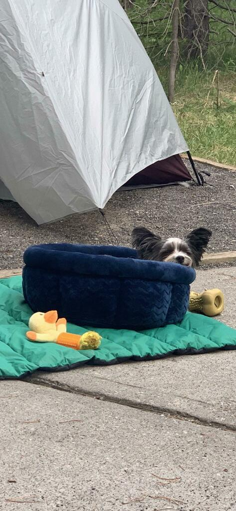 My babygirl getting all comfy in her bed while camping! #yorkies #dogsoftwitter #cute https://t.co/ocdnzHtwwu