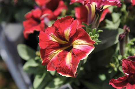 Petunia (Petunia x hybrida)  Eye-popping color and easy care make Petunias a summer favorite. Petunias like full or partial sun and tolerate different soils and summer heat. Attracts butterflies.  Flower Ref:  https://t.co/EGbqhlLBHf  #flowers #gardens #gardening #nature #apps https://t.co/nB0zUzqcCJ