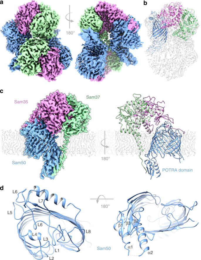 Structural Insight into Mitochondrial β-Barrel Outer Membrane Protein Biogenesis  https://t.co/LDMaMyRF97 https://t.co/7qKsSFj7ph