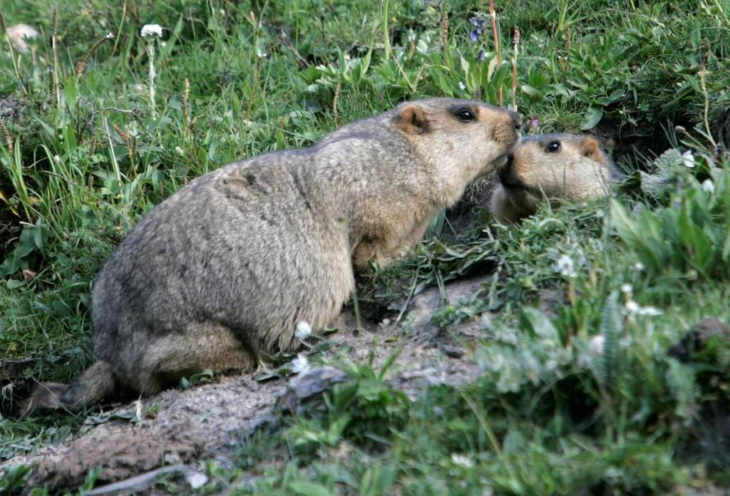 Russia cracks down on marmot hunting after bubonic plague alert reut.rs/2BLP5a1