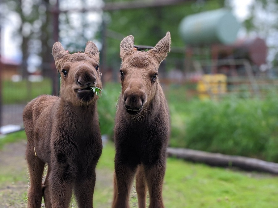 Happy Monday! Hope these cuties make you smile.  PC: @akwildlifepic.twitter.com/uI59KUiuCu