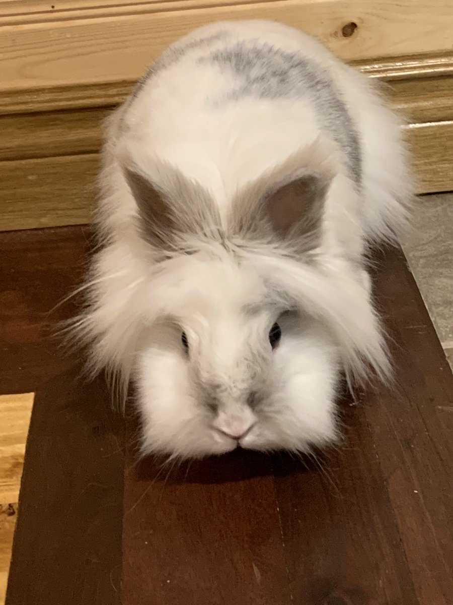 Snowball invites everyone to enjoy her #SquareFluffyCheeks  #bunnies #rabbitspic.twitter.com/NY0MnhlRSC