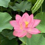 Image for the Tweet beginning: 蓮の花第1号開花です🙋🏻♂️ #新座薬師蓮光寺 #おっ様 #お寺 #蓮  #temple #Lotus