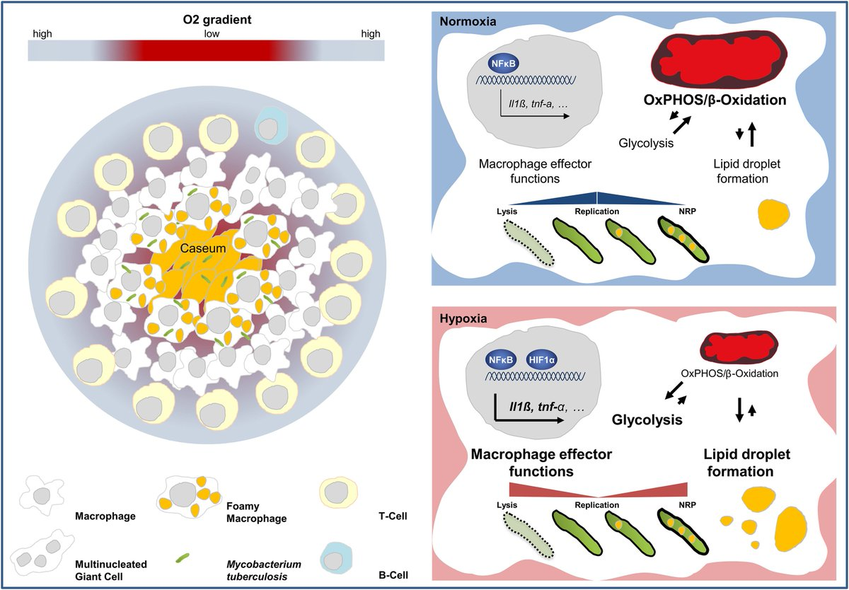 The bacillary and macrophage response to hypoxia in #tuberculosis and the consequences for T cell antigen recognition  https://t.co/eNYX8On4IK #TB #immunology https://t.co/MpUyXN6M8s