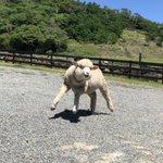 ちょっと待って!?二足歩行してるマッチョな羊がいるのだが!