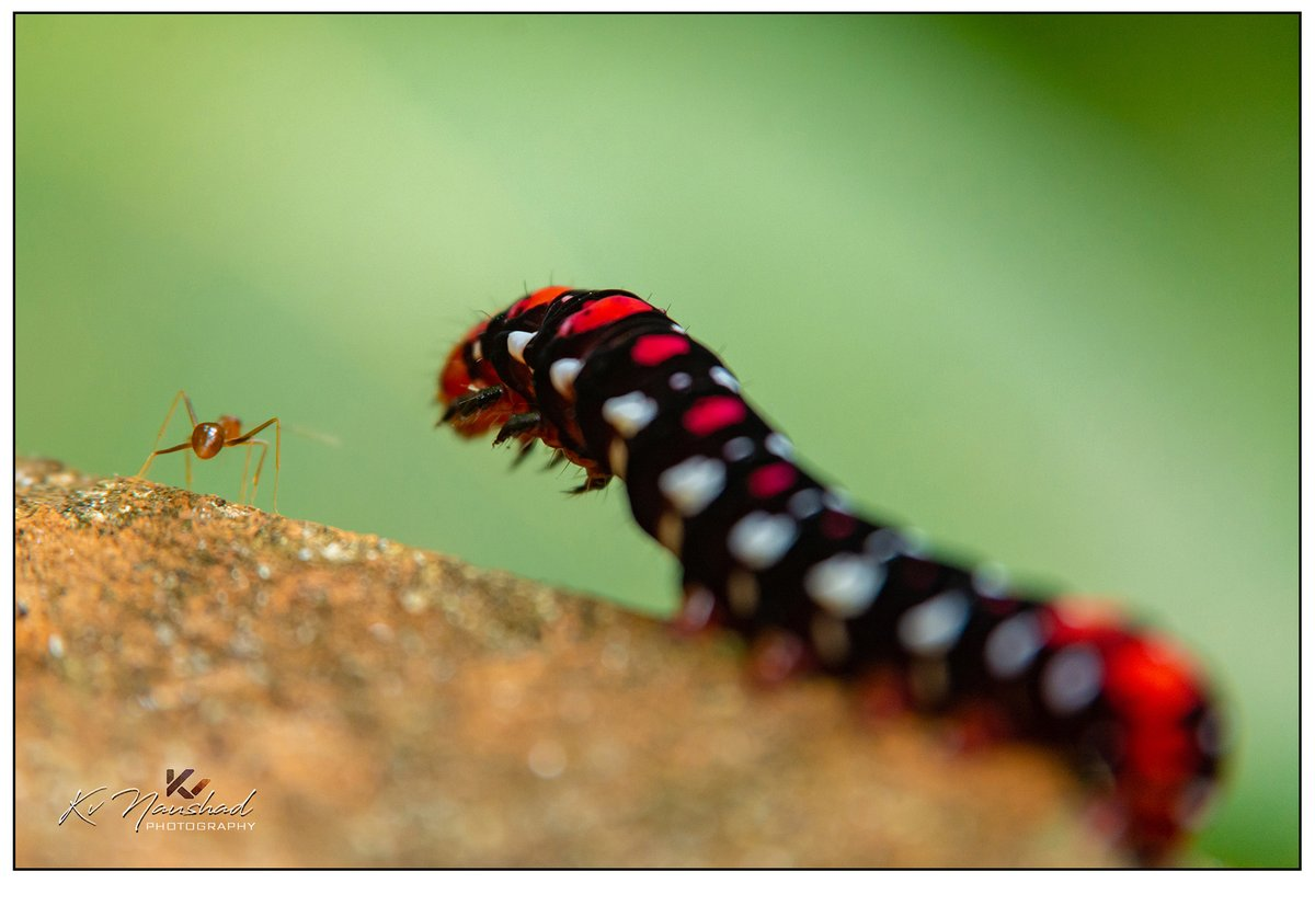 INSTAR║https://t.co/xz1cxiQ1OP      #NikonD7100 #Nikon #animal #closeup #black #nature #red #insect #wildlife #instar #bug #macro #colorful #color #green #natural #outdoor #garden #small #environment #hairy #brown #butterfly #pest #adults #caterpillar #apterus #predator #village https://t.co/yiUqJyKb7f