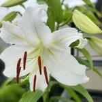 Image for the Tweet beginning: ◎カサブランカさまが開花。  うれしい2020七夕🎋  こちらはカサブランカではないですが、ご自宅に無農薬のバラはいかがでしょうか?香りもひときわ楽しんでいただければ幸いです。