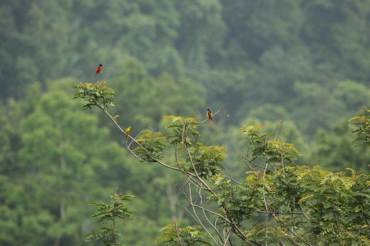 Can you spot them?? #birdphotography #birdwatching #TwitterNatureCommunity #birds @goldsant @s_singh_ifs @siddisimple @manishariprasad @Bhrigzz https://t.co/Rmkxl3l5Kx