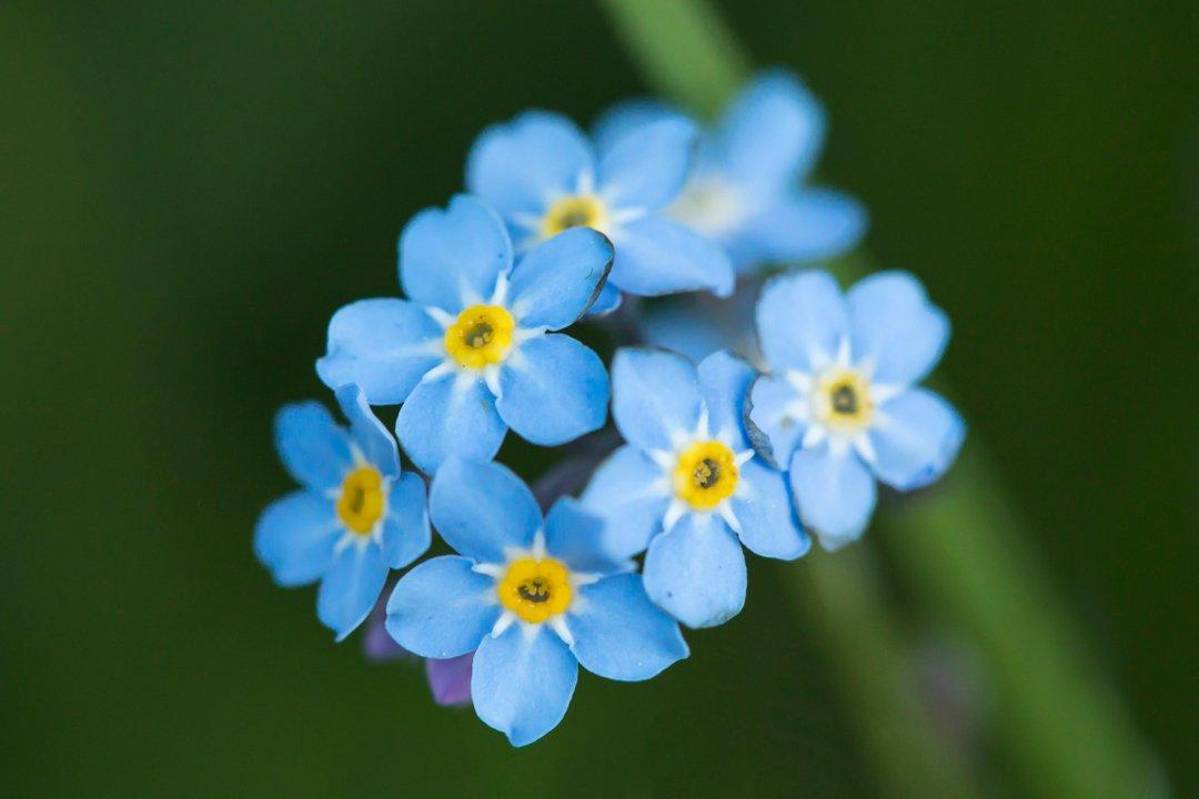 Bright blue forget-me-nots for a dreary Tuesday 😊 #forgetmenot #myosotis_sylvatica #wildflowers #plants #personalproject #botany #flora #dailyexercise #covid19 #lancashire #darwen #blackburn https://t.co/uU1cYz4HCF