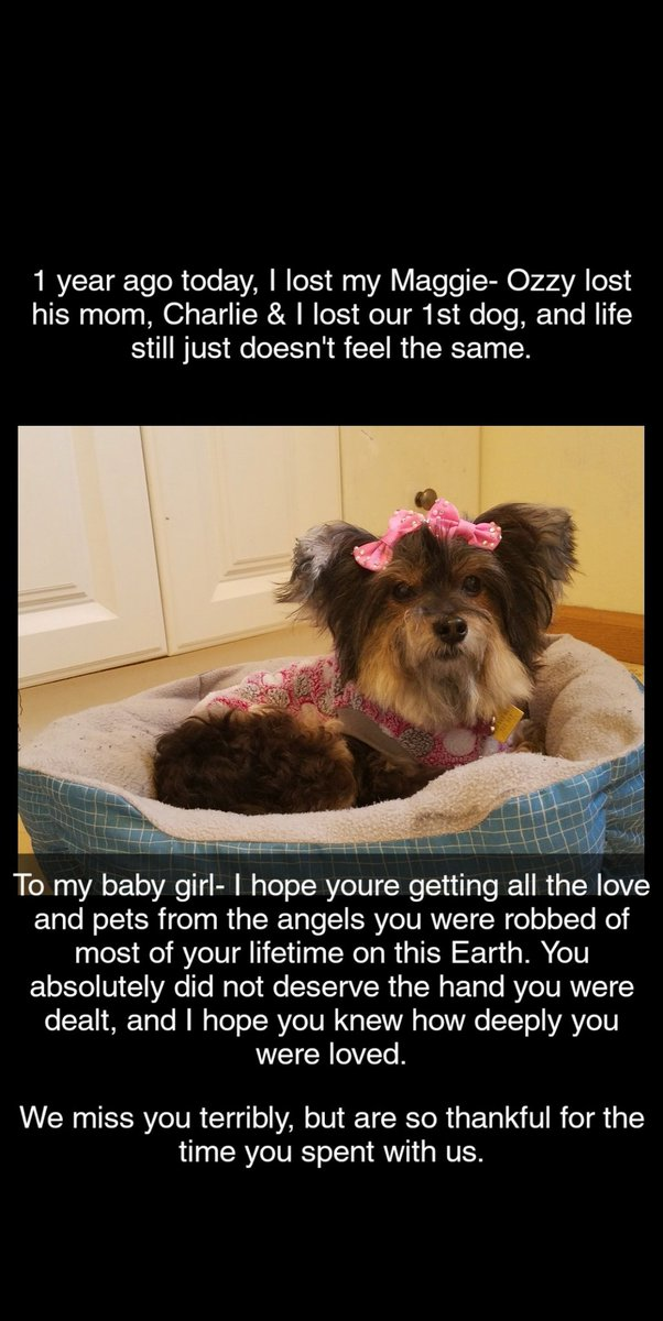 #congestiveheartfailure #chf #yorkie #AdoptDontShop #rainbowbridge #AYearAgoToday #RescueDogs   My heart is broken. She was the 1st of 3 in 10 months. I still cant let go or forgive myself. I hope the angels are giving her the life she deserved but didn't get while on this earth pic.twitter.com/pvCrOfEoKM