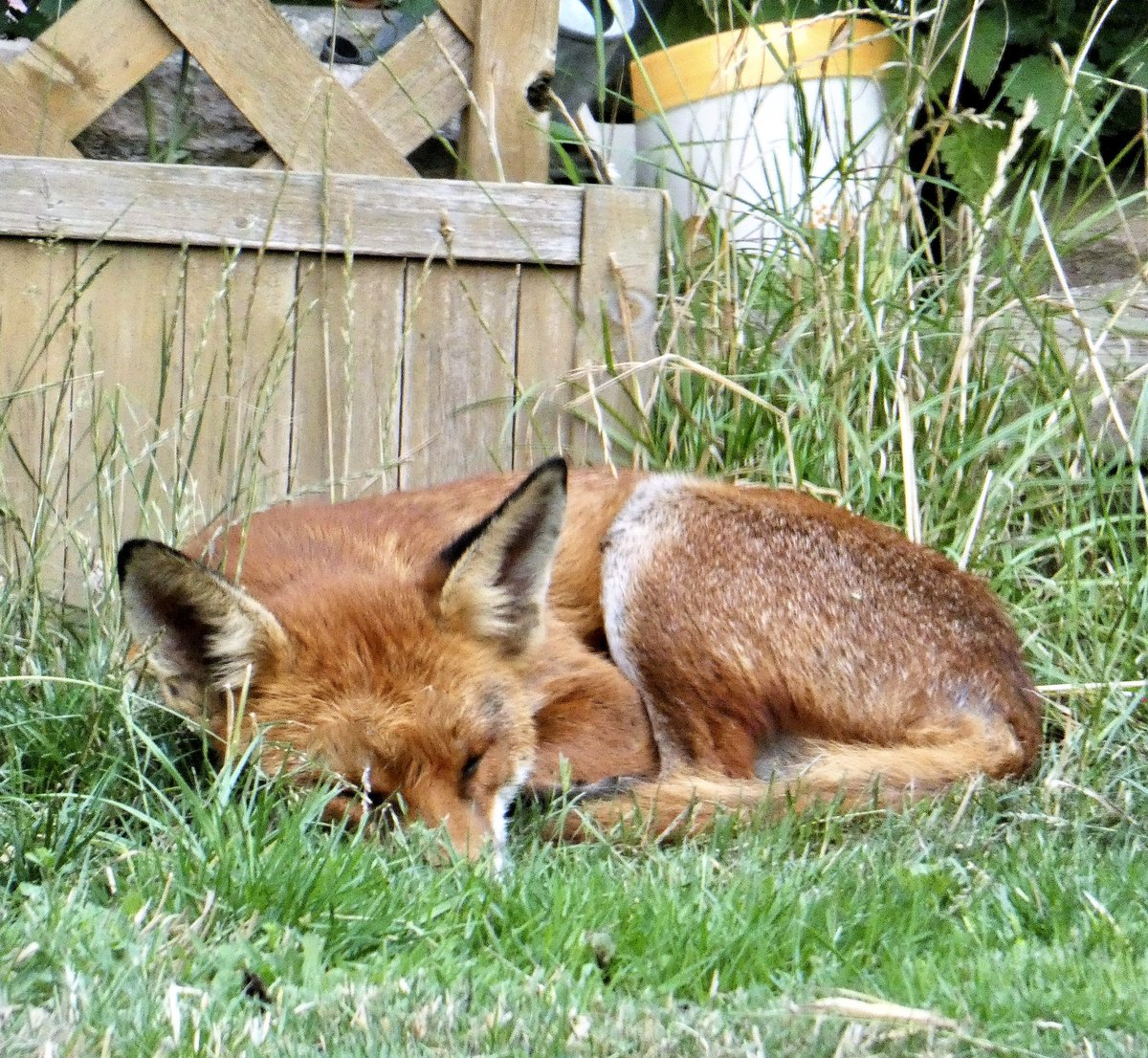 Early start for me .. Unlike the fox currently dozing at the bottom of the garden🦊 💤