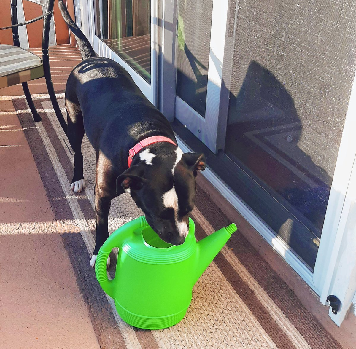 My doggie tried to help water the plants on the deck today #Pitbulls #RescueDogs pic.twitter.com/lMgqFfYK95