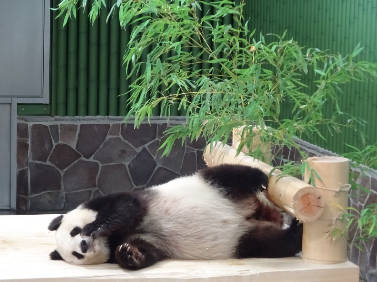 七夕の飾り付けで遊んでくれたあとは、たんたんさん満足してくれたのか眠ってしまいました😊今日はなかなか手の位置が決まらなかった様で、色々なポーズを見せてくれましたよ。さて、いったいどんな夢を見ているのかな...。#きょうのタンタン #王子動物園#夢の中で彦星とは会えたかな