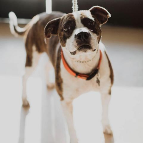 Poncho - Chino Hills Location: Adult male #AmericanStaffordshireTerrier/#PitBullTerrier mix in Chino Hills, CA. 48392884 https://www.petfinder.com/dog/poncho-chino-hills-location-48392884/ca/chino-hills/priceless-pet-rescue-ca1886/?referrer_id=951d8323-dd97-451d-acfe-67abf9dc936a…pic.twitter.com/AoSCddOcpV