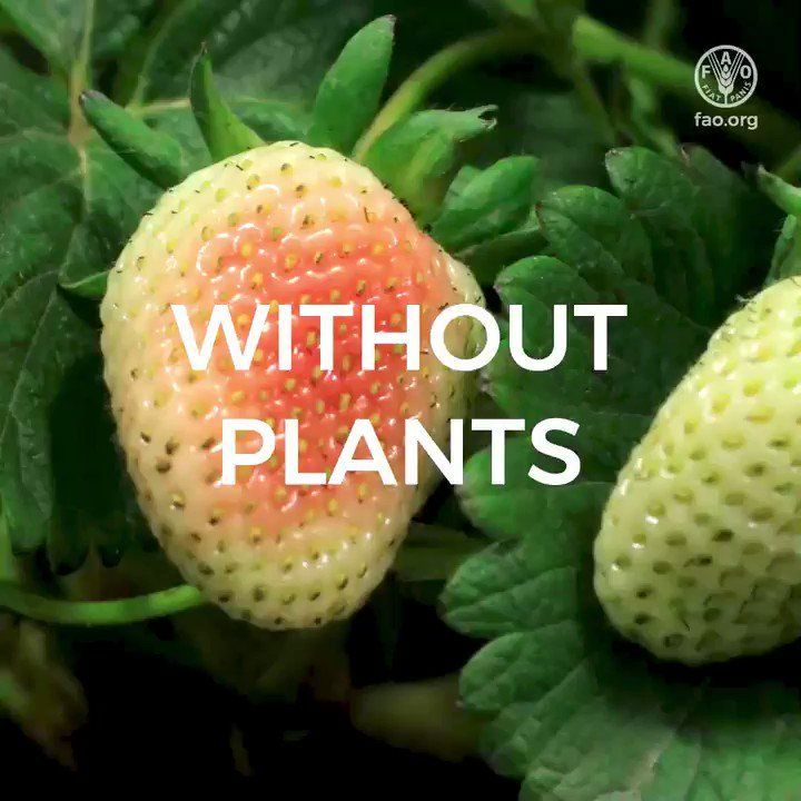 🌱Without plants we would lose 80% of the food we eat!   #PlantHealth means:  🍅Food security 👩‍🌾Farmers' livelihoods  🌏A healthy environment   Here is what the private sector can do to protect plant health 👇  👉 https://t.co/5zQMaHrHgy  #PlantHealth #IYPH2020 https://t.co/GfiJre5h0v