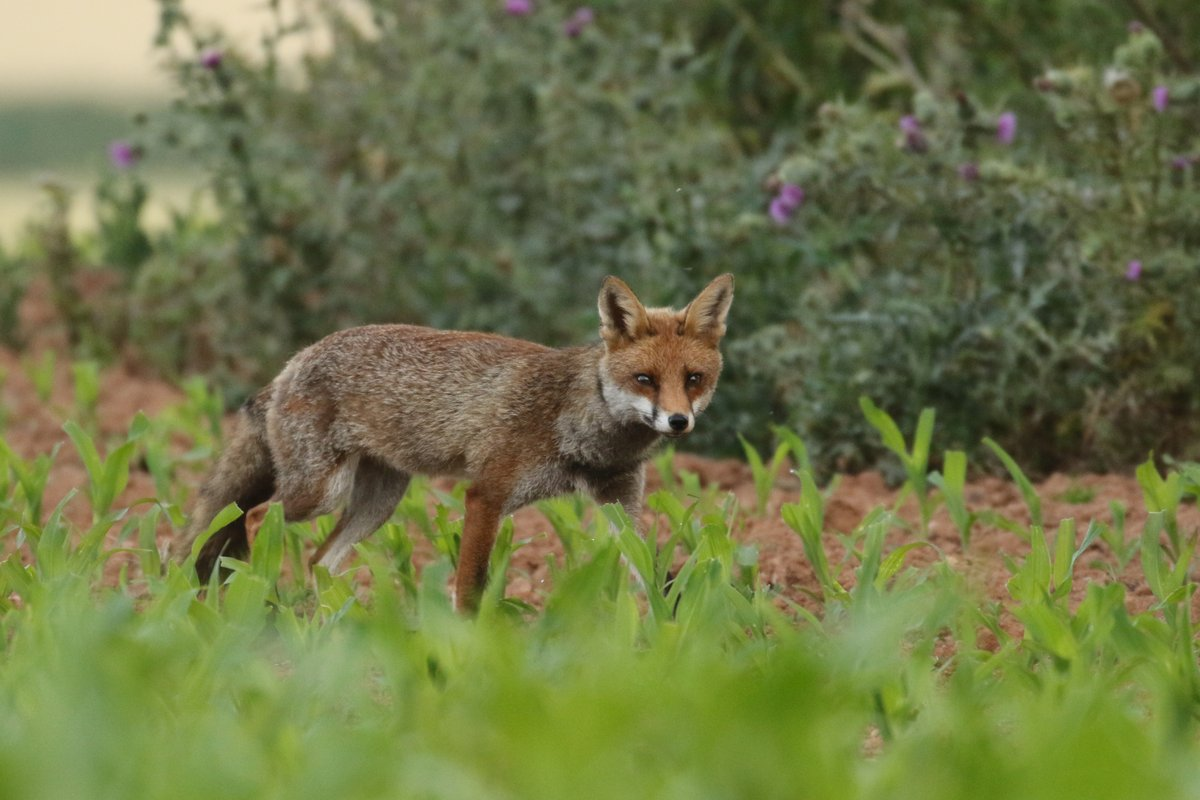 I missed Dawns crack this morning, but a 6am walk across to the Village and back was rewarding.  Red Fox, And Little Owl, adult and a still dependant and very shy young one. #NaturePhotography #owls #redfoxpic.twitter.com/XUMYBJhadh
