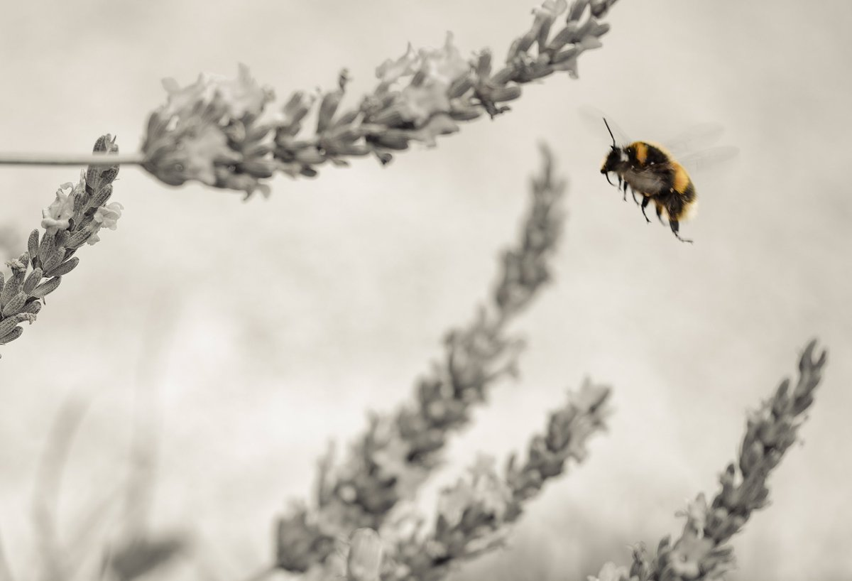"""The flight of the bumblebee. """"We knows song about that!"""" #photography #photo #NaturePhotography #bumblebeepic.twitter.com/QZdWfLpWGy"""